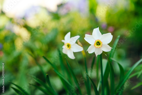 Papiers peints Narcisse Two beautiful white flowers of narcissus with yellow center on green sunlight background close up. Small daffodils in macro with copy space in greenery. Bright sunny backdrop with romantic plants.