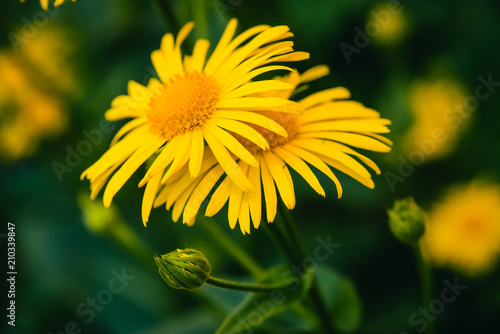 Two beautiful arnica grow in contact close up Wallpaper Mural