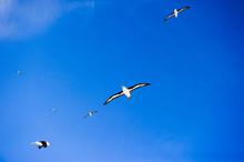 フォークランド のマユグロアホウドリ