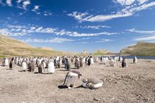 フォークランド のジェンツーペンギン