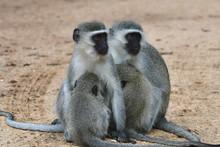 Vervet Monkey In Kruger National Park In South Africa