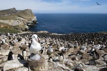 Colony Of Penguins On Rocky Coast