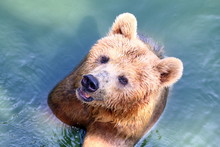 Bear, Grizzly Bear In Water