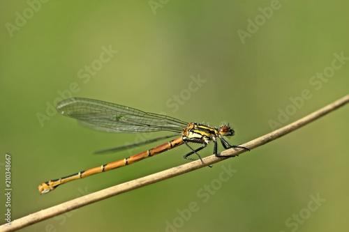 Weibliche Frühe Adonislibelle oder auch Frühe Adonisjungfer (Pyrrhosoma nymphula)