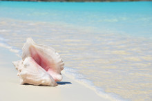 Conch On The Beach. Exuma, Bahamas