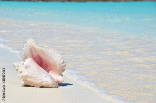 Canvastavla Conch on the beach. Exuma, Bahamas