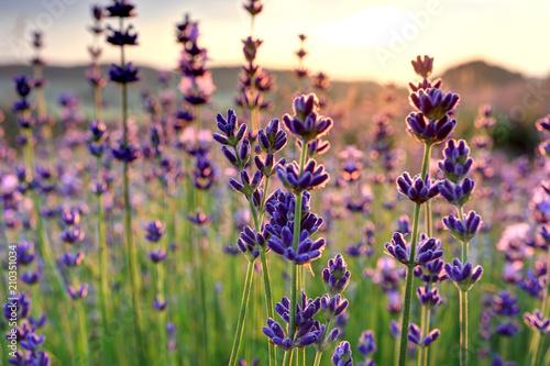 Plakát  Lavendel