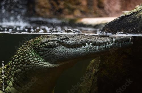 Keuken foto achterwand Krokodil cocodrilo