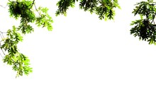 Foliage Of A White Oak Isolate...