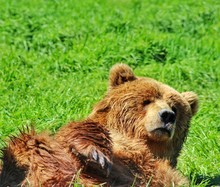 Lazy Grizzly Bear Rests In Grass
