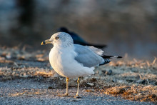 Ring Billed Gull (Larus Delawarensis) On A Beach