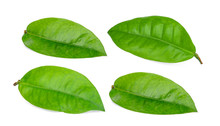 Green Leaf Isolated On White Background