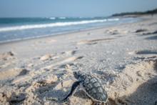 Baby Green Sea Turtle Making I...