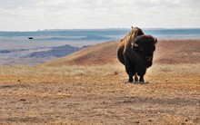 A Bison With Some Birds.