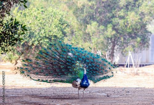 Deurstickers Pauw beautiful colorful peacock