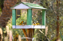 Weaver Bird With Nest