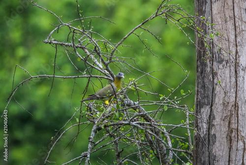 Fotografie, Obraz  yellow footed piegeon