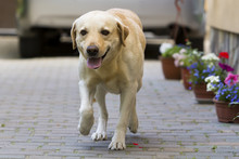 Big Clever Light Yellow Brown Dog Labrador- Retriever Standing In Front Of Silver Shiny Car In Paved Yard On Bright Sunny Summer Day. Guard, Protection Friendship, Fidelity And Loyalty Concept.