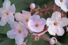 Beautiful Luculia Gratissima Pink Flowers In Chiang Dao District Of Chiang Mai Province, Thailand.