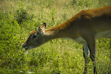 Female Red Lechwe Antelope