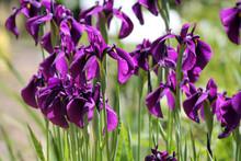 Iris Ensata, Iris, Japanese Ir...