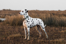 Dalmatian (salt Marshes Sunset)