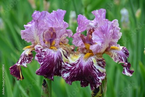 Unusual iris flowers in the garden