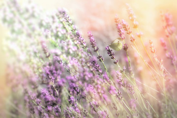 FototapetaBeautiful flower garden with lavender flower, selective focus on butterfly on lavender
