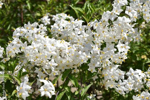 Photo  Solanum jasminoide (morelle faux jasmin)