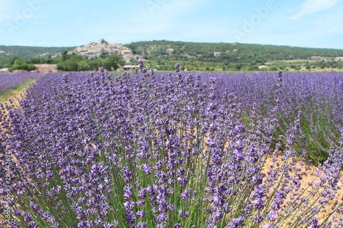 In de dag Lavendel paysage de Provence 2018/1