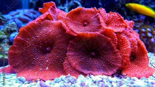 Red mushroom coral colony in the reef aquarium tank
