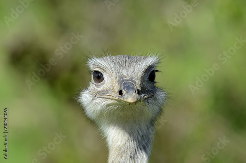 Staande foto Struisvogel Strauß