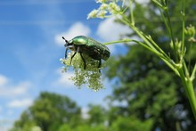 Maybeetle On Blue Sky Background