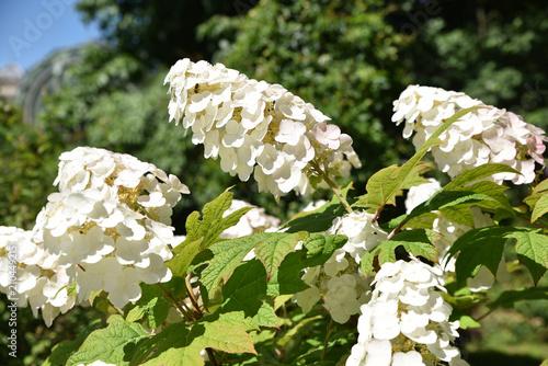 Photo sur Toile Hortensia Hydrangea quercifolia (hortensia à feuilles de chêne) d'Amérique du Nord