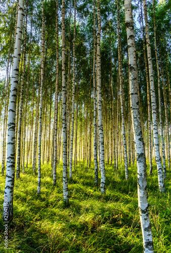 Obraz na płótnie Birch forest