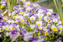 Viola Tricolor Also Known As J...