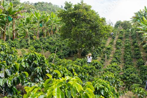 Fotografía Rows of coffee on a coffee plantation in Colombia