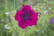 Purple petunia in garden