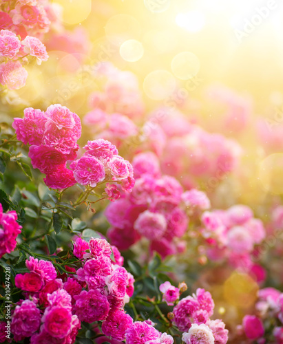 Spring or summer floral background; pink rose flower against the sunset sky
