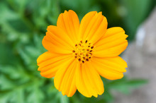 Cosmos Sulphureus Also Known As Yellow Cosmos Flower Against Green Bakground