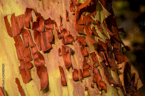 Photo Wood texture and background of the Pacific madrone