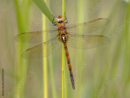 Green eyed hawker on reed