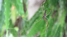 Nephila Pilipes In The Center Of The Project Web, Waiting For Prey. On The Nature Background Blur.