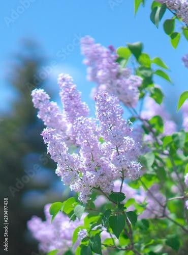 Foto op Canvas Lilac 満開のライラック