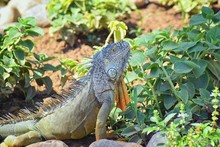 Wild Iguana Eating Plant Leave...