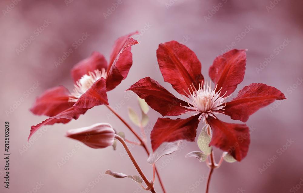 Fototapeta Clematis czerwony
