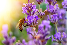 The Bee Pollinates The Lavende...