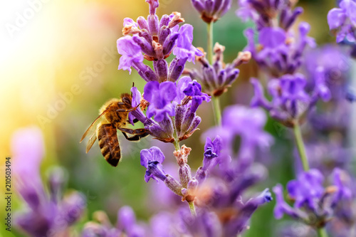 Canvas Print The bee pollinates the lavender flowers