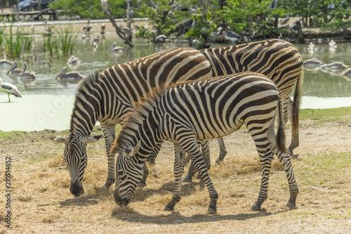 Spoed Foto op Canvas Zebra Walking zebra at the zoo.