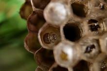 Wasp Hive With Larva